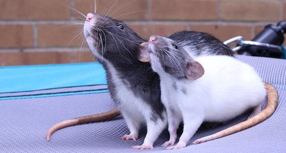 Fancy rats as pets - photo#32